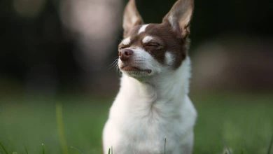 Photo of Deer Head Chihuahua: The Complete Breed Profile