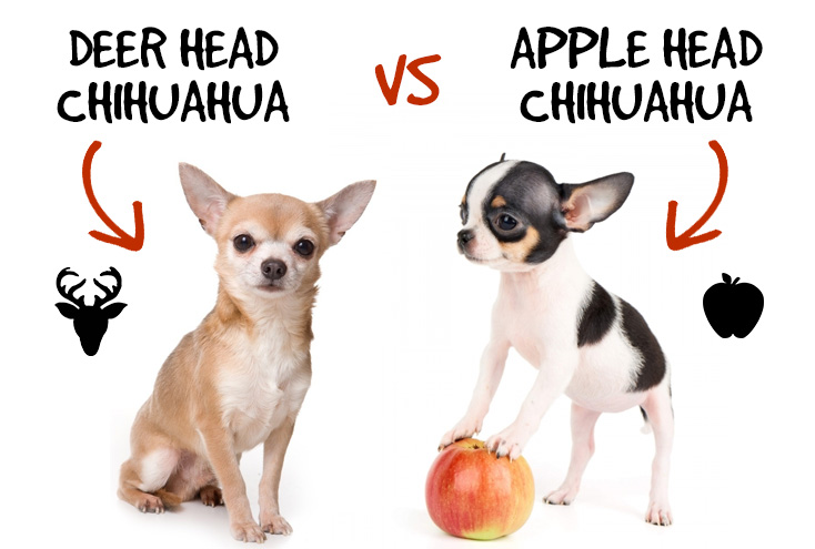 Deer Head Chihuahua vs Apple Head Chihuahua