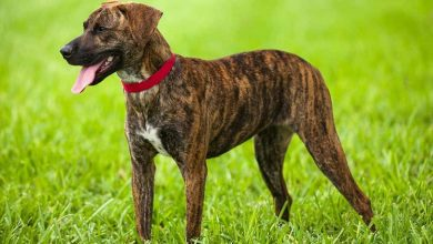 Photo of Mountain Cur: A Hunter's Trusty Companion
