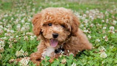 Photo of Teacup Poodle: Complete Guide To Micro, Teacup & Toy Poodles