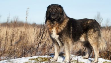Photo of Russian Bear Dog: Everything You Need To Know