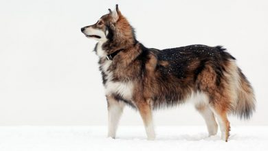 Photo of Utonagan: Dog Breed Information and Owner's Guide