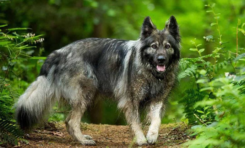 American Alsatian Breed