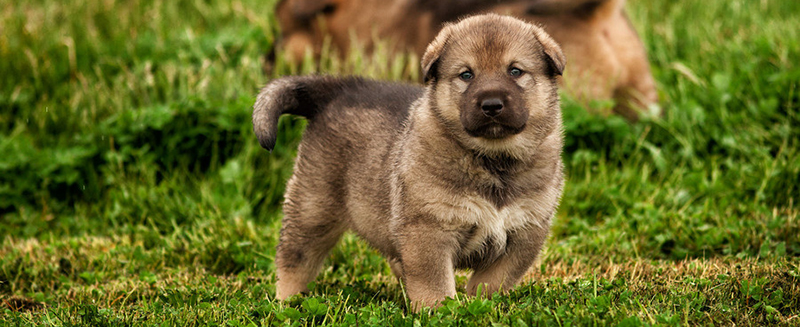 American Alsatian Puppies