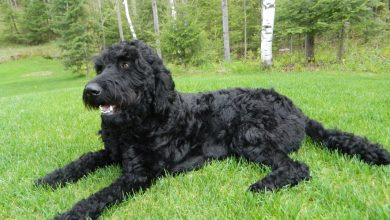 Photo of Black Goldendoodle: Your One-of-a-kind Oversized Teddy-Bear