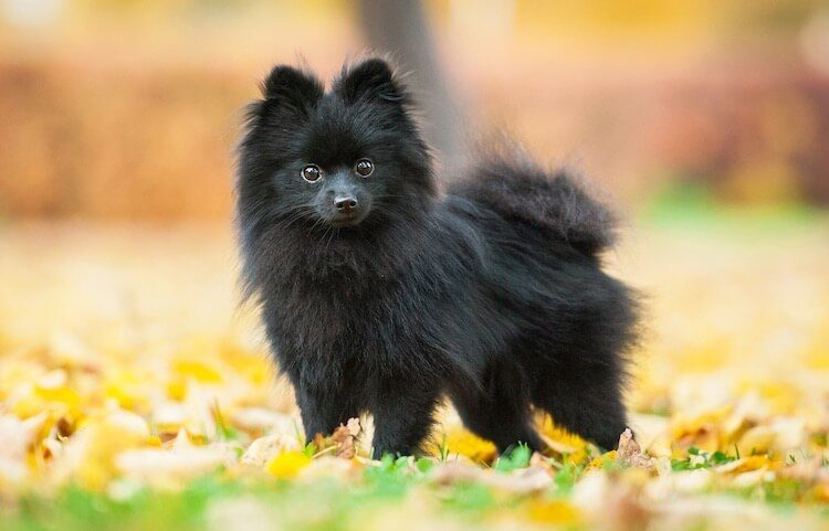 Black Pomeranian Dog Breed