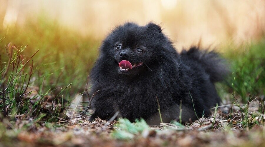 Black Pomeranian Dog