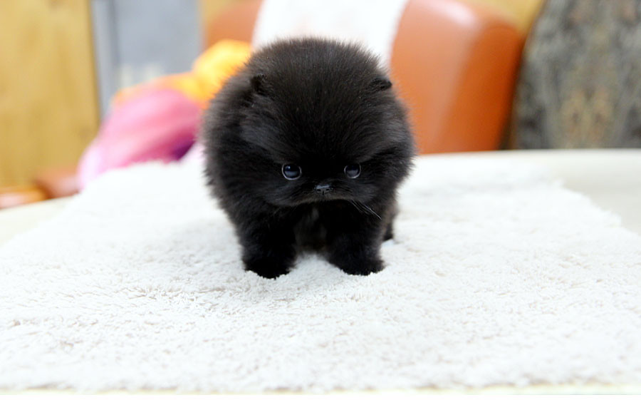 Black Pomerian Puppy