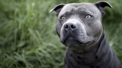 Photo of Blue Nose Pitbull: Complete Dog Breed Information and Owner's Guide