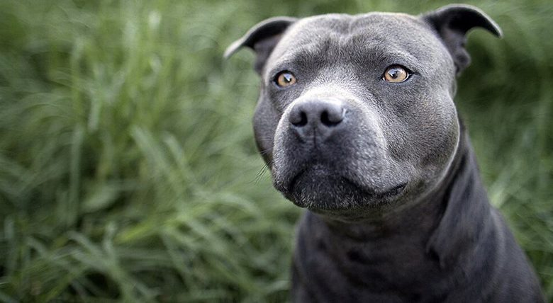 Blue Nose Pitbull Dog Breed