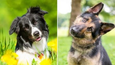 Photo of The Shollie: Complete German Shepherd Border Collie Mix Breed Guide