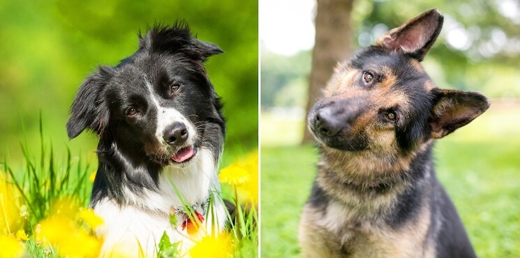 German Shepherd Border Collie Mix Guide