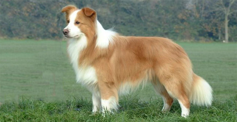 Golden Collie - Golden Retriever Border Collie Mix
