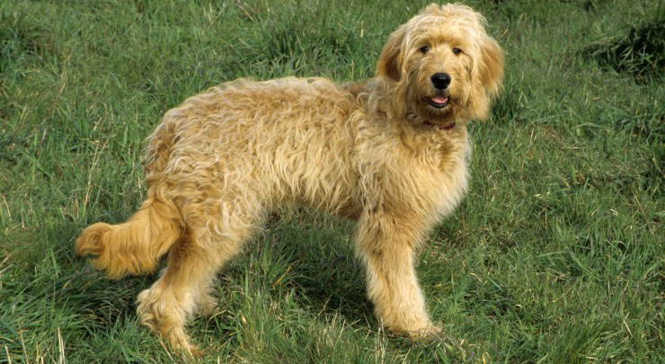 Goldendoodle - Golden Retriever Poodle Mix