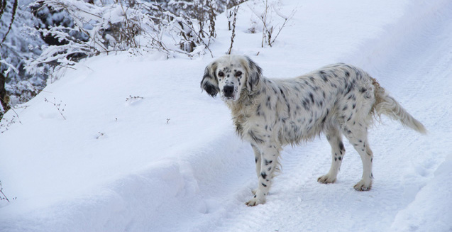 Goldmation - Golden Retriever Dalmatian Mix