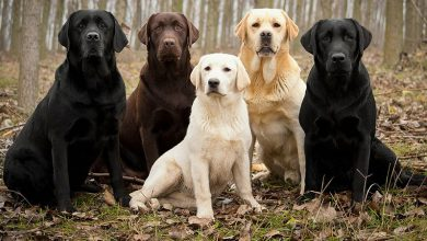 Photo of 12 Interesting Labrador Mix Breeds You Probably Didn't Know About