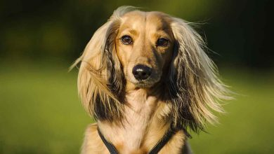 Photo of Long Haired Dachshund: The Complete Dog Breed Guide