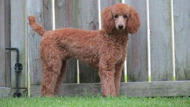 Photo of Moyen Poodle: The Purebred German Poodle Guide
