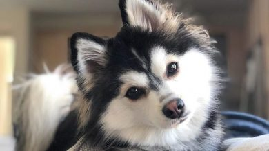 Photo of Pomeranian Husky Mix: Pomsky Breed Guide & Information