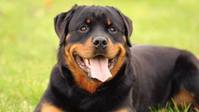Photo of 13 Spectacular Rottweiler Mix Breeds: Your Guide To Adopting A Rottweiler Mix