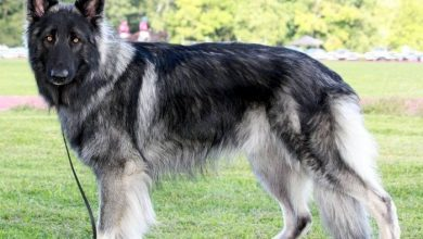 Photo of Shiloh Shepherd: Complete Guide For This Giant Breed