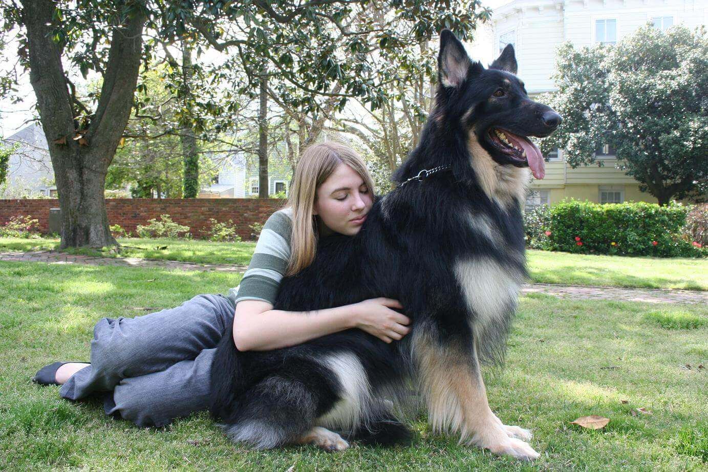 Shiloh Shepherd with Owner