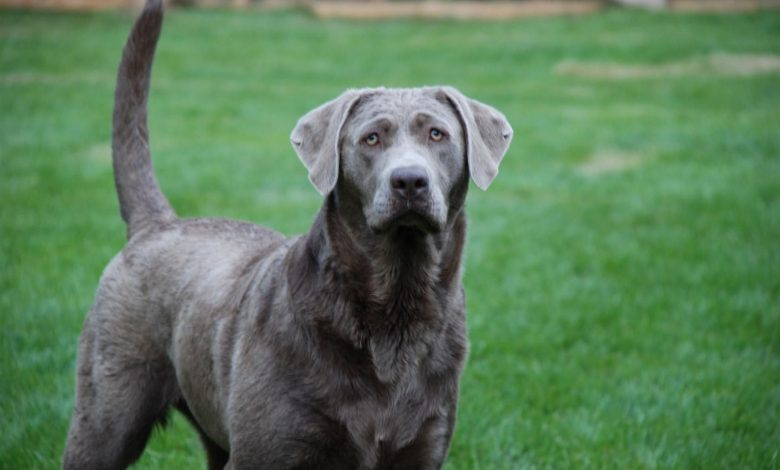 silver lab adult dog