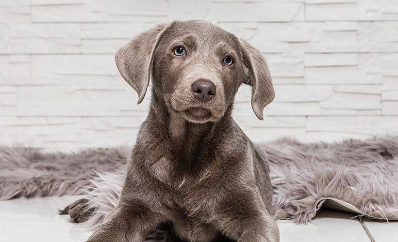 silver lab dog breed