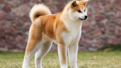 Photo of 10 Amazing Japanese Dog Breeds – A Comprehensive Guide