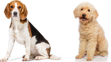 Photo of Beagle Poodle Mix: Complete Breed Guide of The Poogle!