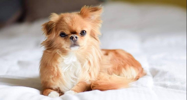 Chihuahua Japanese Chin Mix
