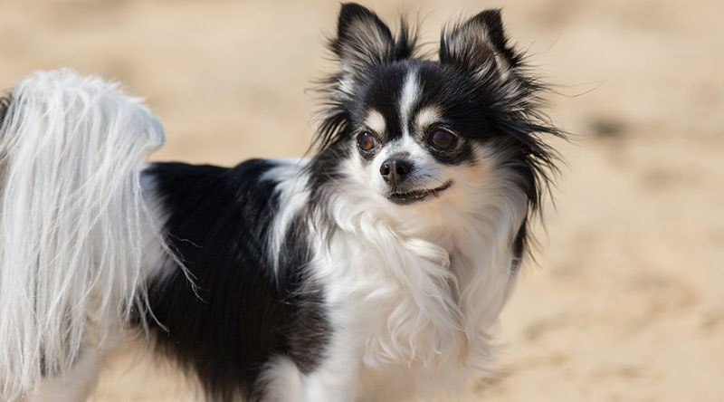 Chion Chihuahua Papillon Mix