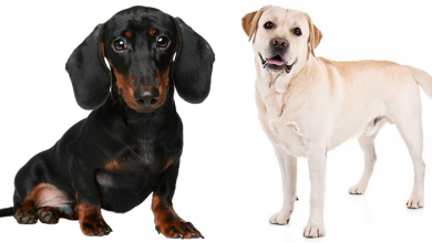 Photo of Dachshund Labrador Retriever Mix: Everything You Need To Know On The Dachsador!