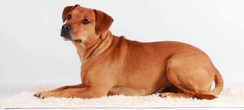 Dachshund Labrador Retriever Mix Breed