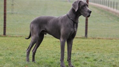 Photo of 13 Interesting Great Dane Mix Breeds: An Introduction To Giant Crossbreeds
