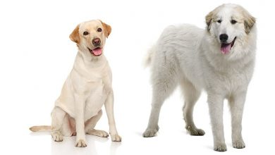 Photo of Great Pyrenees Lab Mix: A Comprehensive Dog Owner's Guide