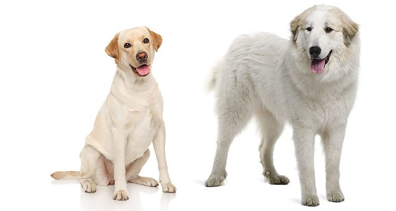 Great Pyrenees Lab Mix