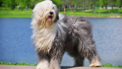 Photo of 10 BIG Fluffy Dog Breeds You Need To Know About