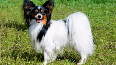 Photo of 12 Adorable Papillon Mix Breeds: A Detailed Introduction To Papillon Crossbreeds
