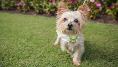 Photo of Shorkie: Complete Guide to the Shih Tzu Yorkie Mix