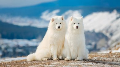 Photo of Top 13 Most Spectacular White Dog Breeds