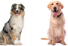 Photo of Australian Shepherd Lab Mix: The Complete Guide To The Aussiedor