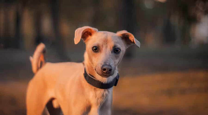 Chi Whip – Whippet Chihuahua Mix