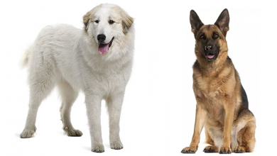 Photo of German Shepherd Great Pyrenees Mix: A Monstrous yet Magnificent Shepnees