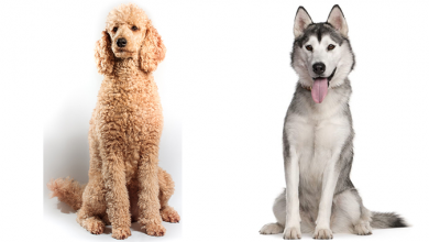 Photo of Husky Poodle Mix: The Huskydoodle You've Been Looking For
