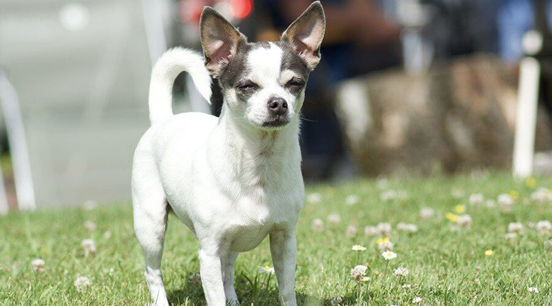 Jack Russell Chihuahua Mix Breed