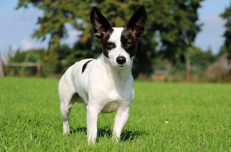 Jack Russell Chihuahua Mix Dog Breed