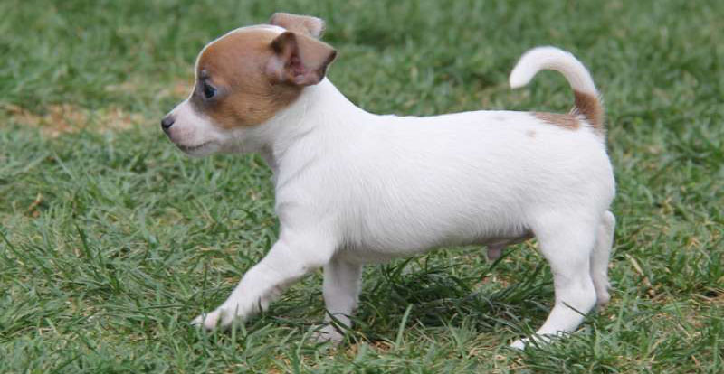 Jack Russell Chihuahua Mix Puppy