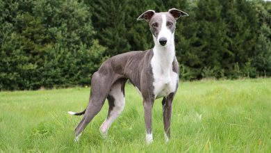 Photo of Most Popular Whippet Mixes – Which Of These Fleet-Footed Friends Would You Prefer?