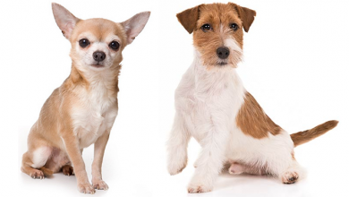Photo of Chihuahua Terrier Mix – Expect the Unexpected With This Pint-Size Fur Ball